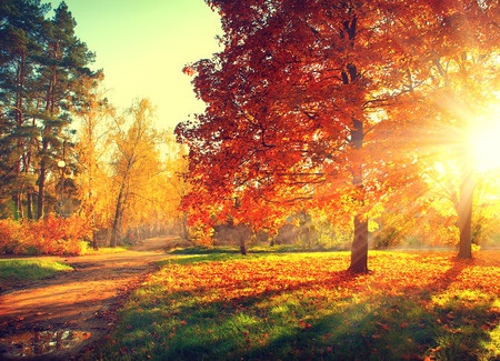 31937235 - autumn scene. fall. trees and leaves in sun light