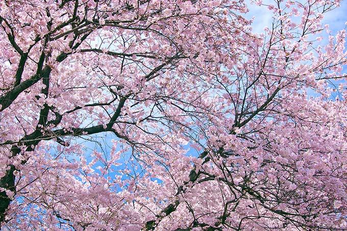 cherry-blossom_00001